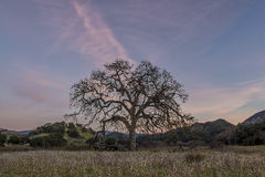 Live Oak Wide. A California Live Oak at Malibu Creek State Park Stock Photography