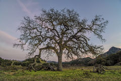 Live Oak Closeup. A California Live Oak at Malibu Creek State Park Royalty Free Stock Photo