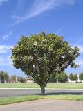California Magnolia Royalty Free Stock Photos