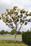 California Magnolia on a Cloudy Day Stock Photos
