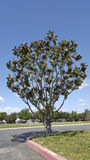 California Magnolia Royalty Free Stock Image