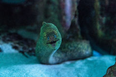California moray eel Gymnothorax mordax. Is found in the Pacific ocean at depths of 40 meters Royalty Free Stock Photography