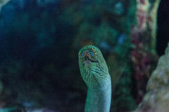 California moray eel Gymnothorax mordax. Is found in the Pacific ocean at depths of 40 meters Royalty Free Stock Photos
