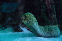 California moray eel Gymnothorax mordax Stock Image