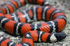 California mountain kingsnake Royalty Free Stock Image