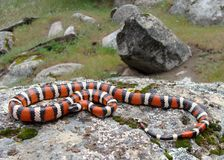 California Mountain Kingsnake. A Sierra Mountain Kingsnake, Lampropeltis zonata multicincta, subspecies of California Mountain King Snake in California, USA Stock Photo