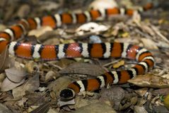 California mountain kingsnake. Henry coe state park, Santa Clara County, California Royalty Free Stock Photo
