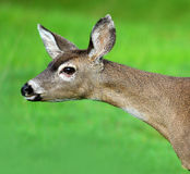 California Mule Deer. The head of a mule deer with a green grass background royalty free stock photo