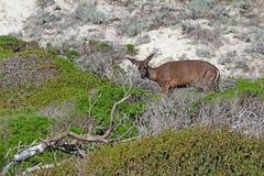 California mule deer Odocoileus hemionus californicus at Asilo. California mule deer Odocoileus hemionus californicus in spring on sand dunes in the natural Stock Image