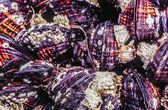 California mussel Stock Photos