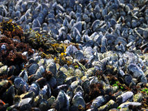 California Mussels - Mytilus californianus Royalty Free Stock Image