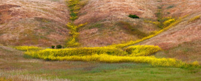 California Mustard Bloom Royalty Free Stock Photography