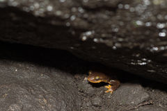 California newt Taricha torosa peeking out from under rock. Also known as an orange-bellied newt. This one was found near a stream in the Angeles National Forest Royalty Free Stock Photo