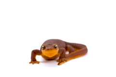 California Newt on White royalty free stock image