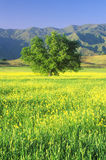 California Oak in Mustard Field with Topa Topa Mountains, Ojai, CA Royalty Free Stock Photography