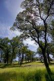 California Oak Woodland. Springtime California woodland, oak trees, sun Stock Images