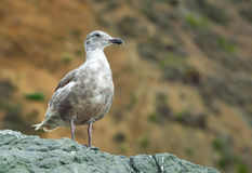 California Ocean Seagull Royalty Free Stock Photography