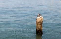 California Ocean Seagull Stock Images