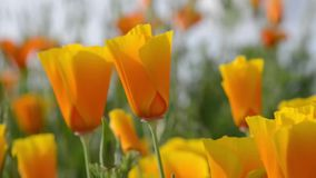 California Orange Poppy stock video