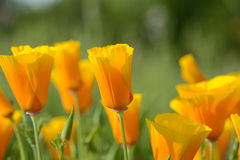 California Orange Poppy Royalty Free Stock Images