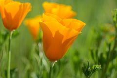 California Orange Poppy Royalty Free Stock Photos