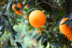 California Oranges. Beautiful, lush, juicy California oranges ready for the picking Stock Photography