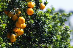 California Oranges Royalty Free Stock Photos
