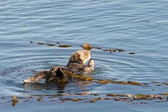 California otter bathing with kelp in shallow water stock photography