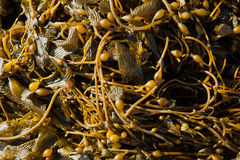 California Pacific seaweed Giant kelp Macrocystic pyrifera Stock Photos