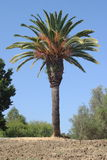California Palm. In John Muir National Historic Site royalty free stock photography