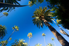 California palm trees Royalty Free Stock Photos