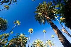 California palm trees Stock Image