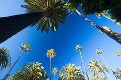 California palm trees Stock Photography