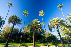 California palm trees. Tall palm trees against a deep blue sky and lining an exclusive street in the community of Beverly Hills California. Room for text Royalty Free Stock Photo