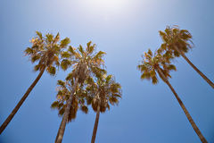 California palm trees against the blue sky Royalty Free Stock Photos