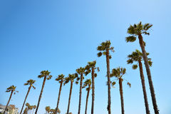 California palm trees against the blue sky Stock Photo