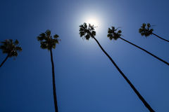 California palm trees on blue sky Royalty Free Stock Photo