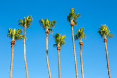 California Palm Trees. Lined up side-by-side Stock Images