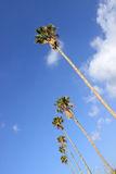 California Palm Trees Royalty Free Stock Images