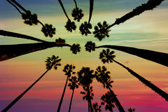 California Palm trees view from below in Santa Barbara. US Stock Photo