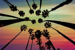 California Palm trees view from below in Santa Barbara Stock Photo