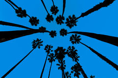 California Palm trees view from below in Santa Barbara Royalty Free Stock Photo