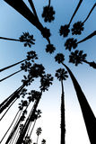 California Palm trees view from below in Santa Barbara Royalty Free Stock Image