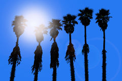 California palm trees washingtonia western surf flavour Royalty Free Stock Photography
