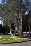 California Park Trees Royalty Free Stock Photo