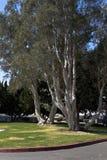 California Park Trees Royalty Free Stock Photo