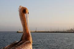 California Pelican. Looking over the Santa Barbara harbor at sunset Stock Images