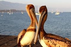 California Pelicans Royalty Free Stock Photos