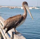 california pelikan Zdjęcia Stock