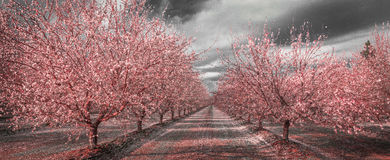 California Pink Blossoms in Black and White stock photo